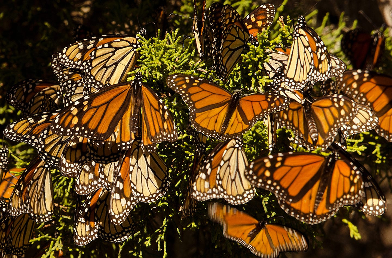 Monarch Butterflies Return to Pacific Grove | CABBI